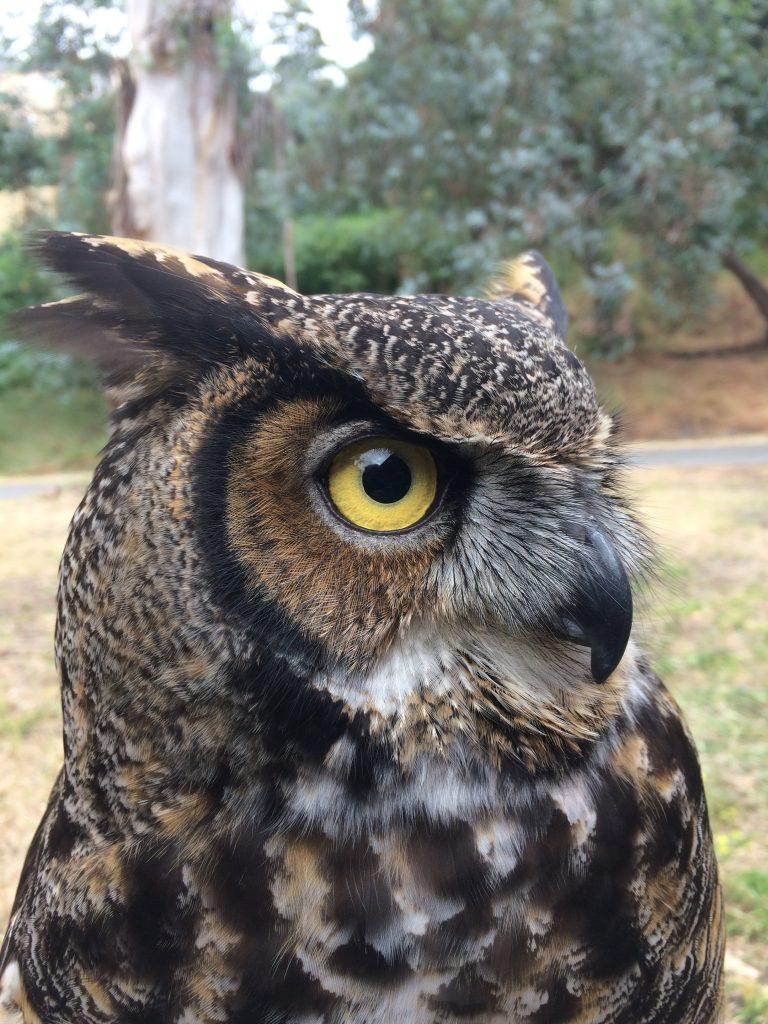 Image of female Great Horned Owl