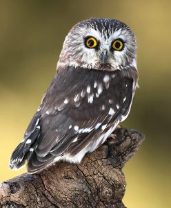 Adult Saw-whet Owl